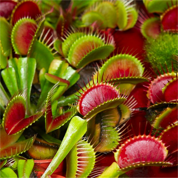 venus-fly-trap-plants-750x750