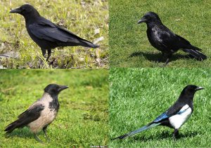 vrana sraka